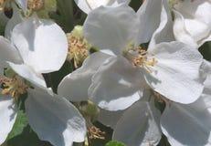 Close up da flor de Apple Imagem de Stock Royalty Free