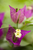 Close up da flor de Bouganville Fotografia de Stock