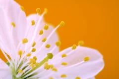 Close-up da flor de cereja imagem de stock royalty free