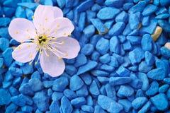 Close-up da flor de cereja fotos de stock