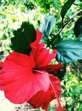 Close up da flor de China Fotos de Stock