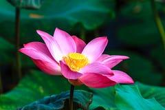 Close-up da flor de Lotus Foto de Stock Royalty Free