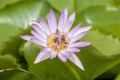 Close-up da flor de Lotus imagens de stock
