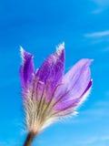 Close-up da flor de Pasque de encontro ao céu azul Imagens de Stock