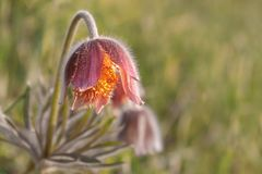 Close-up da flor de Pasque no prado imagem de stock