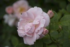 Close up da flor de Rosa Profundidade de campo rasa Imagem de Stock Royalty Free
