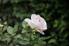 Close up da flor de Rosa Profundidade de campo rasa Foto de Stock Royalty Free