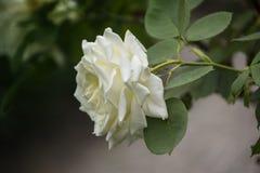 Close up da flor de Rosa Profundidade de campo rasa Imagens de Stock Royalty Free