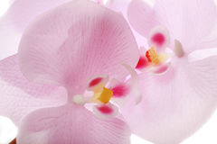 Close up da flor de Sakura Imagens de Stock