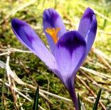 Close up da flor do açafrão, montanhas de Tatra, Polônia imagem de stock royalty free