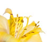 Close-up da flor do Alstroemeria Imagem de Stock