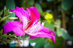 Close up da flor do Bauhinia Imagem de Stock Royalty Free