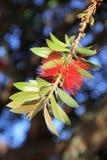 Close-up da flor do Bottlebrush contra um céu azul brilhante fotos de stock