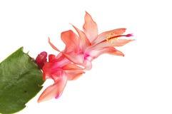 Close up da flor do cacto de Natal Fotos de Stock