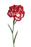 Close up da flor do cravo isolado foto de stock royalty free