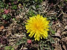 Close up da flor do dente-de-leão no fundo Earthtone-colorido Fotografia de Stock Royalty Free
