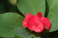 Close-up da flor do espinho de Cristo (milii do eufórbio) com folhas verdes Imagem de Stock Royalty Free