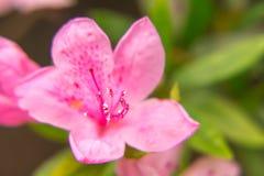 Close up da flor do rododendro que mostra o pistilo e os staminas Foto de Stock