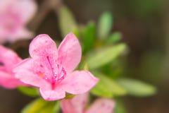 Close up da flor do rododendro que mostra o pistilo e os staminas Imagem de Stock