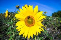 Close-up da flor do sol Fotografia de Stock Royalty Free