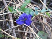 Close up da flor do ternatea do Clitoria Fotos de Stock Royalty Free