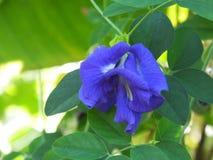 Close up da flor do ternatea do Clitoria Imagem de Stock Royalty Free