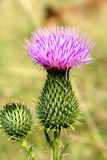 Close up da flor do Thistle Imagem de Stock
