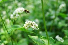 Close up da flor do trigo mourisco Foto de Stock
