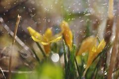 Close up da flor do vernus do açafrão com pingos de chuva Imagens de Stock