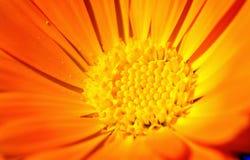 Close-up da flor dourada Imagem de Stock