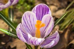 Close-up da flor em botão do açafrão Imagem de Stock