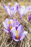 Close-up da flor pequena violeta do açafrão Foto de Stock