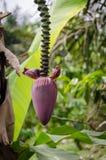 Close up da flor roxa da planta de banana na selva de República dos Camarões, África Foto de Stock Royalty Free