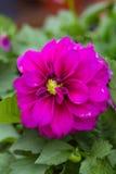 Close up da flor vermelha da dália da framboesa bonita fotos de stock