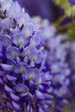 Close up da florescência da glicínia fotografia de stock