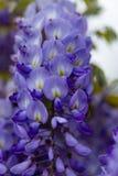 Close up da florescência da glicínia foto de stock royalty free