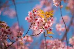 Close-up da florescência Himalaia selvagem da cereja imagem de stock royalty free