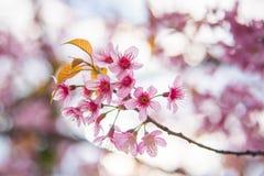 Close-up da florescência Himalaia selvagem da cereja imagens de stock