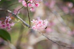 Close-up da florescência Himalaia selvagem da cereja (cerasoides do Prunus) imagens de stock royalty free