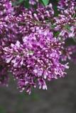 Close-up da florescência roxa perfumada do lilac. fotografia de stock
