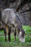 Close up da floresta do cavalo selvagem de Salt River Imagem de Stock