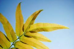Close up da folha bonita no fundo azul macio Imagem de Stock
