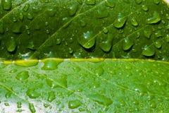 Close up da folha com gotas da água Fotos de Stock Royalty Free