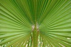Close up da folha da palmeira Foto de Stock