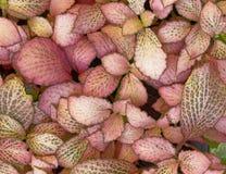 Close up da folha da planta do Coleus Imagem de Stock