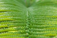 Close-up da folha da samambaia na floresta grande da ilha Imagem de Stock Royalty Free