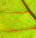 Close up da folha da uva do mar Imagens de Stock
