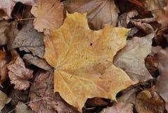 Close-up da folha de bordo do outono no foco macio no fundo fotos de stock royalty free