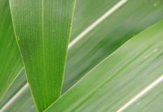 Close-up da folha do milho Imagem de Stock