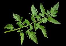 Close up da folha do tomate Fotos de Stock